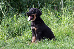 Hovawart pup stock image