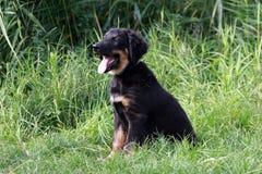 Hovawart pup fotografering för bildbyråer