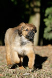 Hovawart puppy. Close-up of a running hovawart puppy royalty free stock images