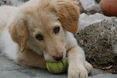 Hovawart - puppy dog. A hovawart puppy while it is playing with a tennis balln stock photo