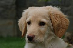 Hovawart - puppy dog. This image portrays a blonde hovawart puppy while she is looking at something that particularly interests her royalty free stock photo