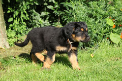 Hovawart puppy moving in the garden