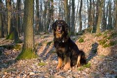 Hovawart, zwarte hond Stock Foto