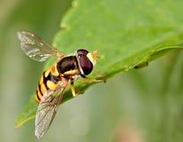 Hovefly imágenes de archivo libres de regalías