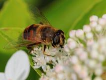 Hovefly auf weißer Blume Stockfoto