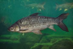 Hoven ` s鲤鱼Leptobarbus hoevenii 免版税图库摄影