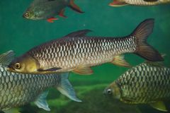 Hoven`s carp Leptobarbus hoevenii Royalty Free Stock Photography