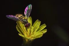 hover мухы Стоковая Фотография RF