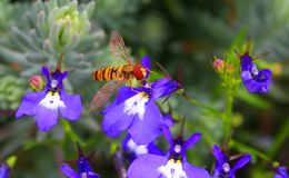 Hover Bee with pollen on blue Lobelia Royalty Free Stock Image