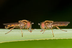 Hover Flies. Two hover flies are in their natural environment stock image