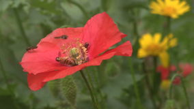 Hover Flies feeding on poppies. stock video footage
