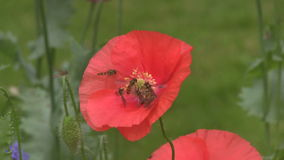 Hover Flies feeding on poppies. stock video
