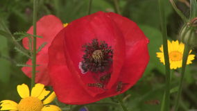Hover Flies feeding on poppies. stock footage