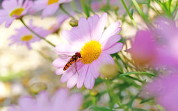 Hover Flies hover files macro in green nature or in the garden Stock Photos