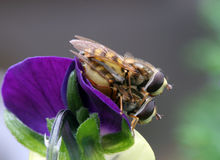 Hover Flies Mating. Two hover flies mating on a viola flower, side view Royalty Free Stock Photography