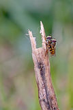 Hover Flies Mating stock photography