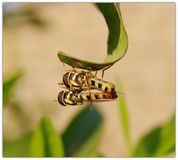 Hover flies mating. Larva mate couple leaf royalty free stock photo