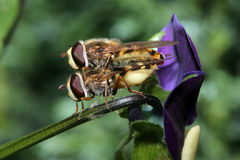 Hover Flies Mating on a Viola. Two hover flies mating on a viola flower, side view Stock Photo