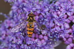 Hover Fly Royalty Free Stock Photo