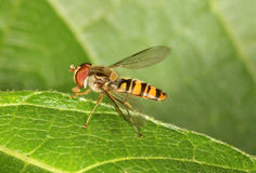 Hover Fly. Close up of a Hover Fly Stock Photo