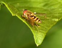 Hover Fly. Close up of a Hover Fly Stock Photography
