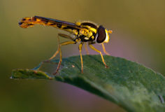 Hover-fly Royalty Free Stock Images