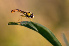 Hover-fly Royalty Free Stock Photography