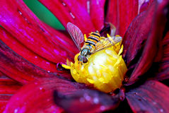 Hover fly Royalty Free Stock Photos