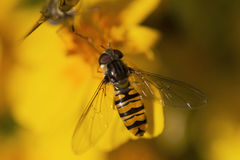 Hover fly. Royalty Free Stock Photos