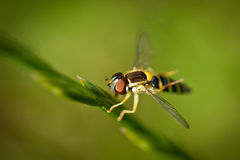 Hover fly Royalty Free Stock Images