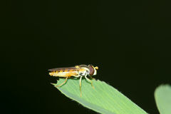 Hover fly Stock Images