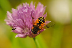 Hover fly and ant. Hover fly on a chive flower Royalty Free Stock Image
