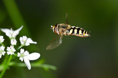Hover-fly approaching a flower Royalty Free Stock Photos