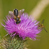 Hover Fly & Bee Royalty Free Stock Photography