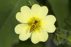 Hover fly bee mimic nectaring on cinquefoil flower, Vernon, Conn Stock Image