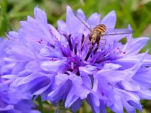 Hover fly on a blue flower Stock Images
