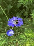Hover fly on chicory Stock Image