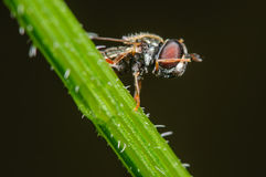 Hover Fly cleaning it's face. A small Hoverfly cleaning it's face while perched on a blade of grass Royalty Free Stock Photography