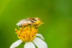 Hover fly collecting nectar Royalty Free Stock Image
