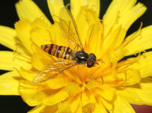 Hover fly on dandelion Royalty Free Stock Photos