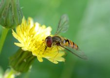 Hover fly (episyrphus balteatus) Royalty Free Stock Photography