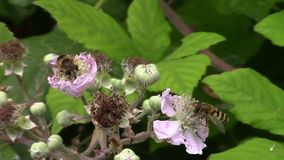 Hover fly feeding on the flowers of a blackberry bush. stock footage