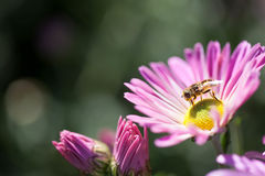 Hover Fly Feeding. Hoverfly on magenta colored flower Stock Photos