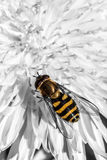 Hover fly on a flower Royalty Free Stock Image