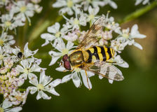 Hover Fly on flower Stock Images