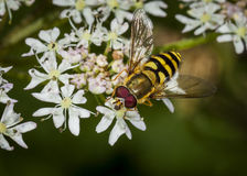 Hover Fly on flower Royalty Free Stock Images