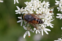 Hover-fly at the flower visit, Germany Royalty Free Stock Photos
