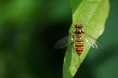 Hover fly on green leaf Stock Image