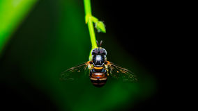 Hover fly on green plant. On black background Stock Photos