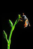 Hover fly on green plant. On black background Royalty Free Stock Photo